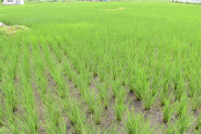 育ち盛りの稲たち