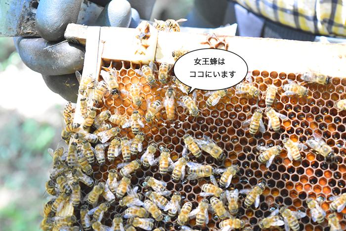 女王蜂さんと働き蜂さん (1匹:3 万匹)女王陛下は何処か分かりますか?