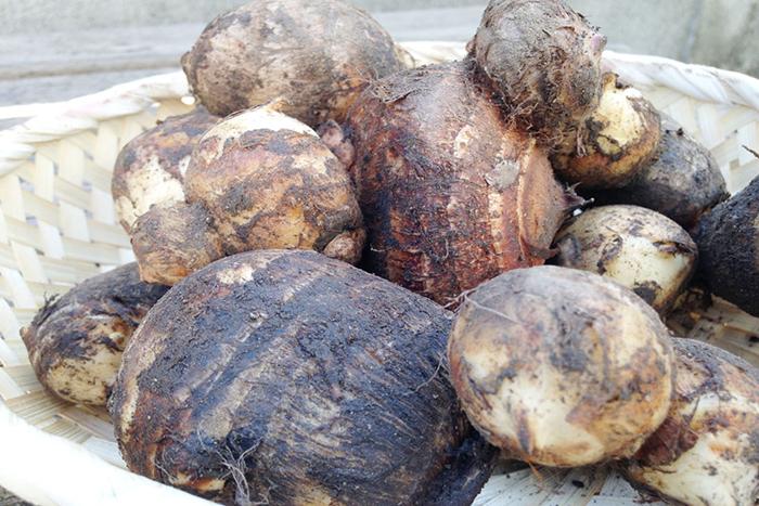 里芋は土をつけたまま保存するのが基本です